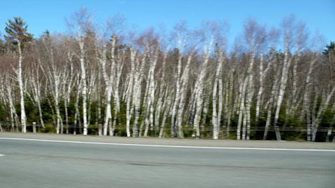 whitetrees.jpg